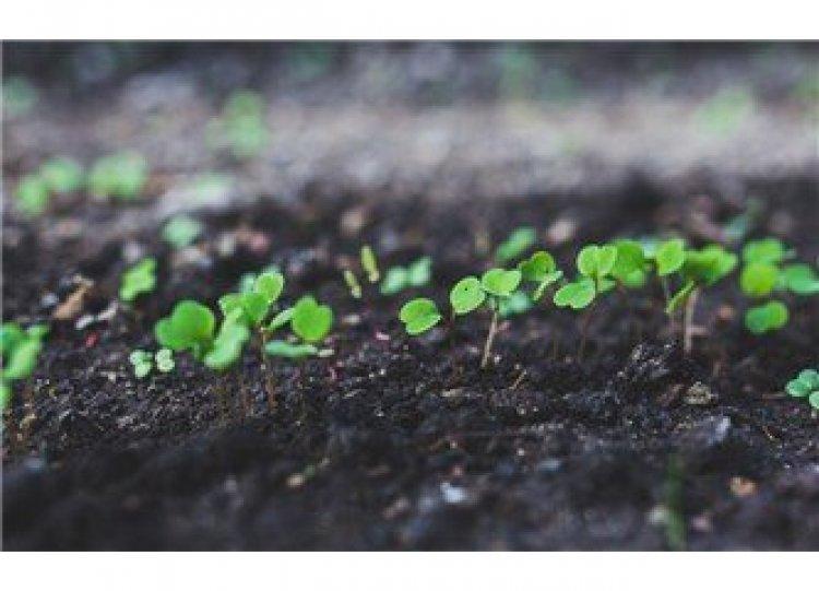 Maydanoz tohumu ekimi ne zaman ve nasıl yapılır ?